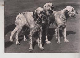 Cani Cane Dog Chien Setter  Caccia - Cani