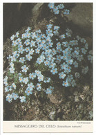 AA2926 Fiori Fleurs Flowers - Messaggero Del Cielo (eritrichium Nanum) / Non Viaggiata - Flowers