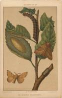 Themes Div Ref GG721-insectes -papillons - Papillon Et Chenille - Le Bombyx Neustrien - (13x8,5cms)-illustrateur Clement - Insects