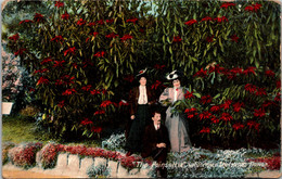 California The Poinsettia Christmas Flower In Bloom 1911 - Other