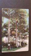 Costa Rica - Royal Palms In Vargas Park - Limon - Copyright Reserved H. Wimmer , Limon - Costa Rica