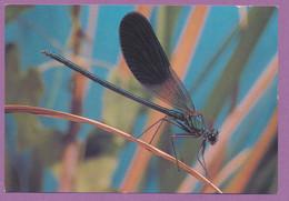 Animaux Des Zones Humides D'Alsace - Libellule Calopteryx éclatant - Insects